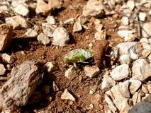 Zikade, die aus Hülsen heraus, verlierende Zikade kriecht lizenzfreie stockbilder