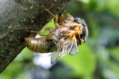 Zikade, die getragen wird lizenzfreie stockfotos