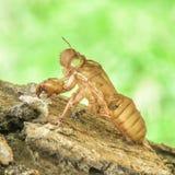 Zikade, die im Wald schmilzt Lizenzfreie Stockfotografie