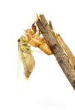 Zikade, die seine Haut ändert Lizenzfreies Stockbild