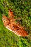 Zikade Exoskeleton verließ auf einer moosigen Niederlassung, nachdem es gemausert hatte lizenzfreies stockbild