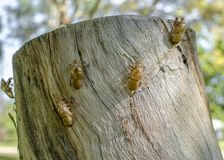 Zikade exuvia auf einem Baumstumpf Stockbilder
