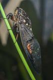 Zikade (Hemiptera: Cicadidae) auf Blatt. Stockfotos