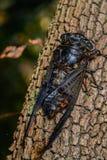Zikade (Hemiptera: Cicadidae) auf Blatt. Lizenzfreie Stockbilder
