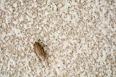 Zikade ist Verkleidung auf Beschaffenheitsoberfläche der Sandsteinwand stockfoto
