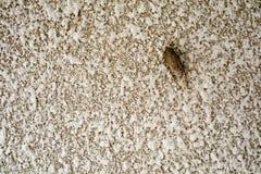 Zikade ist Verkleidung auf Beschaffenheitsoberfläche der Sandsteinwand lizenzfreie stockbilder