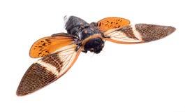 Zikade lokalisiert auf weißem Hintergrund lizenzfreie stockfotos