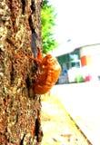 Zikade mausern Stockbild