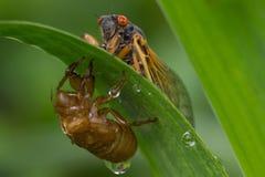 Zikade mit Nymphal-Haut Stockfotos