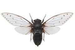 Zikade Pomponia Intermedia getrennt auf Weiß Lizenzfreies Stockfoto