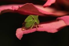 Zikade (Stictocephala-bisonia) stockbilder