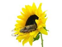 Zikade und Sonnenblume Stockbilder