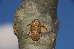 Zikadenhaut innerhalb trachae Details Lizenzfreies Stockfoto