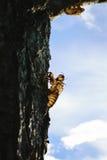 Zikadenkarkassen im Wald Stockbilder