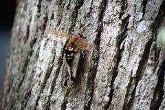 Zikadenmörderwespe Stockbilder