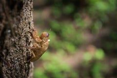 Zikadenslough weg von seiner Haut Lizenzfreie Stockfotografie