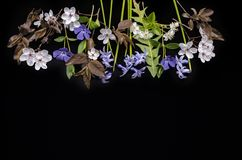 Spring blooming periwinkle plants, hyacinths, blooming prunes and cherry blossoms on a black background. Delicate spring blooming periwinkle plants, hyacinths royalty free stock photo