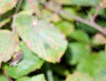 Zilla d'araignée - diodia de Zilla attendant sur un plein Web dans les WI moyens photo libre de droits