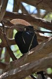 Zilverachtig-Cheeked hornbill royalty-vrije stock foto
