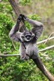 Zilverachtige gibbon Stock Afbeeldingen