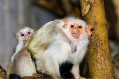 Zilverachtige marmosets (argentata Callithrix) Stock Afbeelding