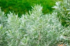 Zilveren Armoede Bush in Koningenpark en Botanische Tuinen Stock Afbeeldingen