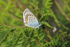 Zilveren-beslagen blauw Royalty-vrije Stock Fotografie