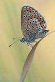 Zilveren-beslagen blauw/geißklee-Bläuling/Plebejus argus Stock Afbeelding