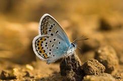 Zilveren-beslagen blauw mannetje royalty-vrije stock foto's