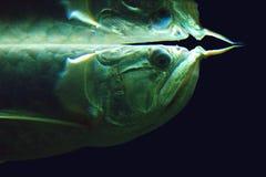 Zilveren bicirrhosum van arowanaosteoglossum, soms gespelde arawana, is een Zuidamerikaanse zoetwater knokige vis van de familie  royalty-vrije stock foto