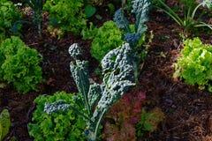 Zilveren-biet het groeien in de tuin, maar iets heeft aan het geknaagd royalty-vrije stock afbeelding