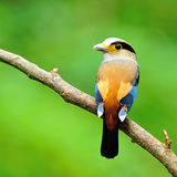 Zilveren-Breasted Broadbil-vogel Stock Fotografie