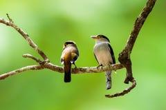 Zilveren Breasted Broadbill in Nationaal Parkzuiden van Thailand Royalty-vrije Stock Foto