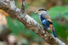 Zilveren-Breasted Broadbill neerstrijkend op toppositie in een bos op noordelijk Thailand royalty-vrije stock foto's
