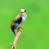 Zilveren-Breasted Broadbill-Vogel Stock Afbeeldingen