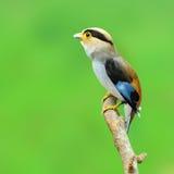 Zilveren-Breasted Broadbill-Vogel Stock Afbeelding