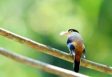 Zilveren-Breasted Broadbill-Vogel Royalty-vrije Stock Foto