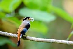 Zilveren-Breasted Broadbill-Vogel Royalty-vrije Stock Foto's