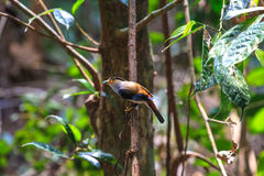 Zilveren-Breasted de mooie vogel van Broadbill op een tak Stock Afbeeldingen
