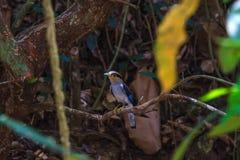 Zilveren-Breasted de mooie vogel van Broadbill op een tak Stock Foto