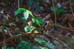 Zilveren-Breasted de mooie vogel van Broadbill op een tak Stock Afbeelding