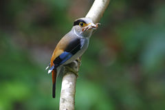 Zilveren-Breasted lunatus Vrouwelijke Leuke Vogels van Broadbill Serilophus Royalty-vrije Stock Foto's