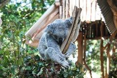 Zilveren die koalaholding op tak door eucalyptusbladeren wordt omringd met bokehachtergrond royalty-vrije stock foto's