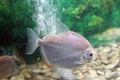 Zilveren dollarvissen royalty-vrije stock foto's
