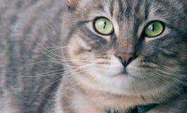 Zilveren gestreepte katkat Stock Fotografie