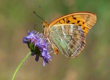 Zilveren-gewassen Fritillary met gesloten vleugels Stock Foto