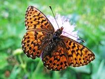Zilveren-gewassen fritillary paphia of Der Kaisermantel Oder Silberstrich Schmetterling van vlinderargynnis stock fotografie