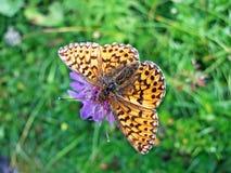 Zilveren-gewassen fritillary paphia of Der Kaisermantel Oder Silberstrich Schmetterling van vlinderargynnis stock foto's