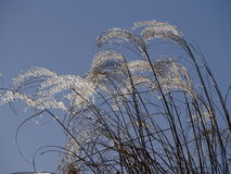 Zilveren grasssusuki in de de herfsthemel Stock Foto
