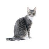 Zilveren grijze gestreepte katkat Stock Fotografie